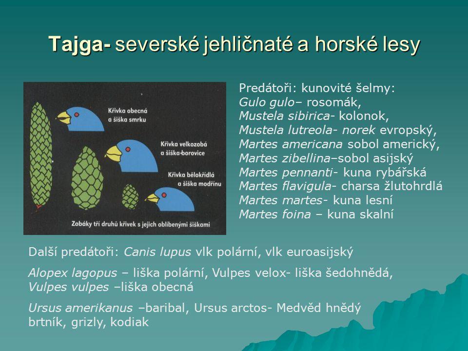 Tajga- severské jehličnaté a horské lesy Predátoři: kunovité šelmy: Gulo gulo– rosomák, Mustela sibirica- kolonok, Mustela lutreola- norek evropský, M