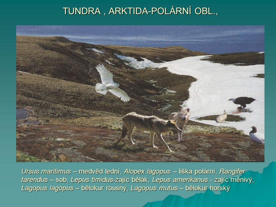 Ursus maritimus – medvěd lední, Alopex lagopus – liška polární, Rangifer tarendus – sob, Lepus timidus-zajíc bělák, Lepus amerikanus - zajíc měnivý, L