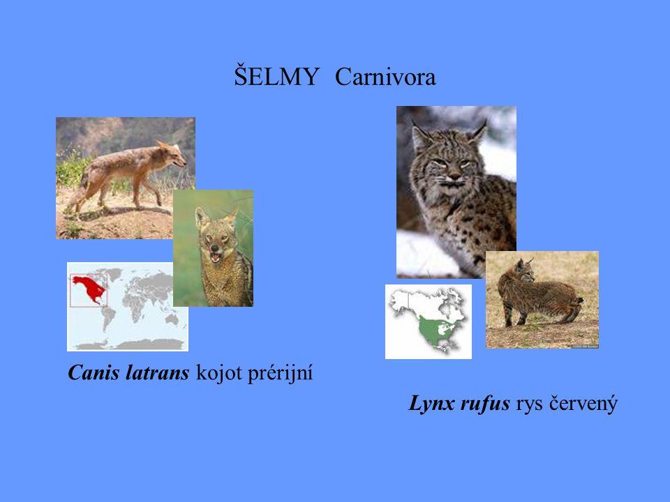 ŠELMY Carnivora Lynx rufus rys červený Canis latrans kojot prérijní