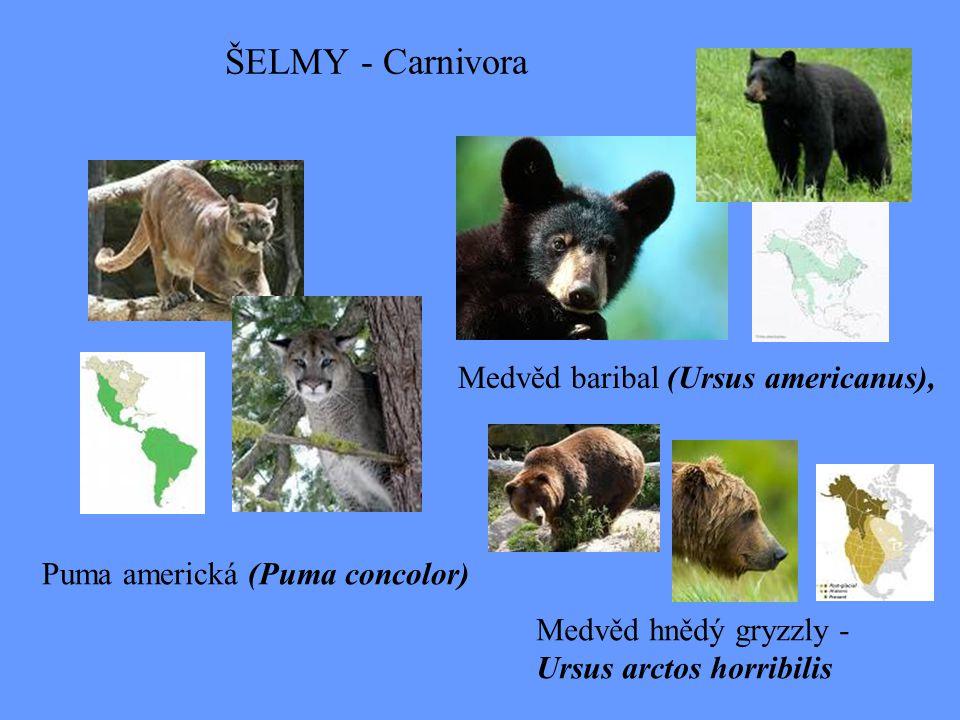 ŠELMY - Carnivora Medvěd hnědý gryzzly - Ursus arctos horribilis Medvěd baribal (Ursus americanus), Puma americká (Puma concolor)
