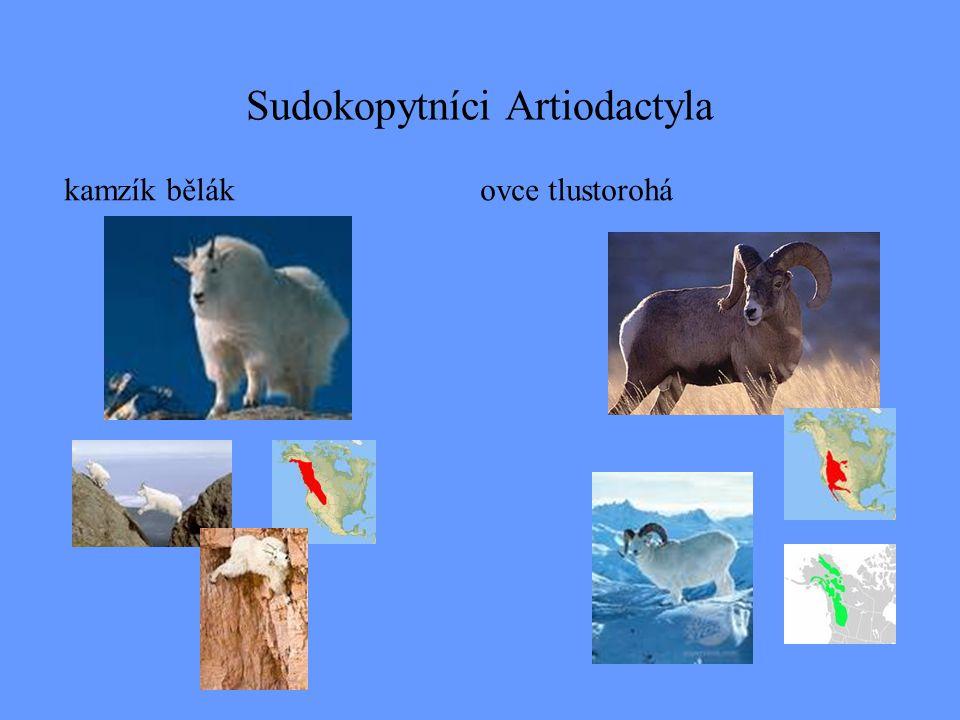 Sudokopytníci Artiodactyla kamzík bělákovce tlustorohá