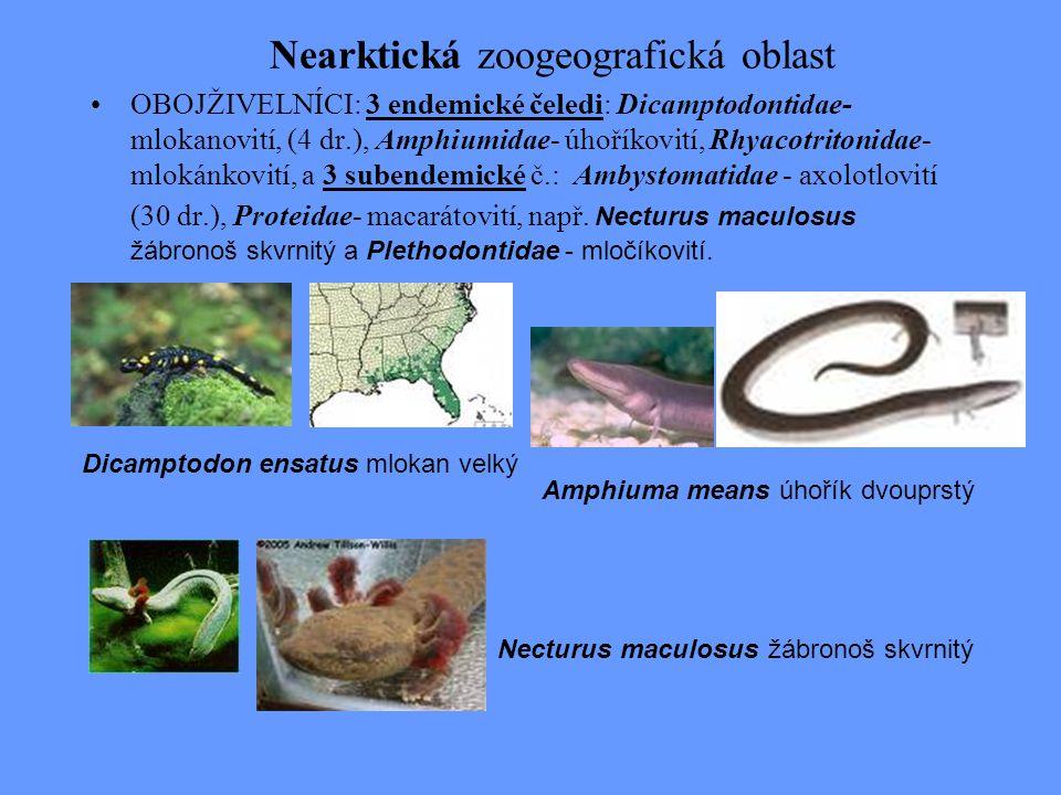 Nearktická zoogeografická oblast OBOJŽIVELNÍCI: 3 endemické čeledi: Dicamptodontidae- mlokanovití, (4 dr.), Amphiumidae- úhoříkovití, Rhyacotritonidae