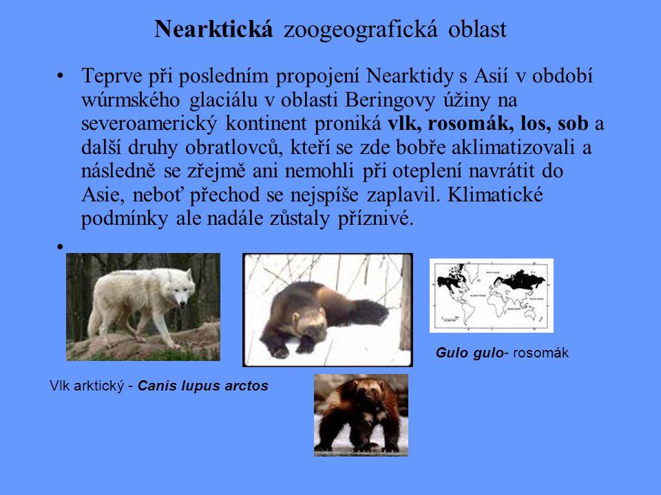 Nearktická zoogeografická oblast Teprve při posledním propojení Nearktidy s Asií v období wúrmského glaciálu v oblasti Beringovy úžiny na severoameric