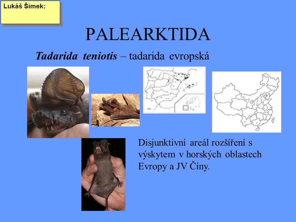 PALEARKTIDA Lukáš Šimek: Tadarida teniotis – tadarida evropská Disjunktivní areál rozšíření s výskytem v horských oblastech Evropy a JV Číny.