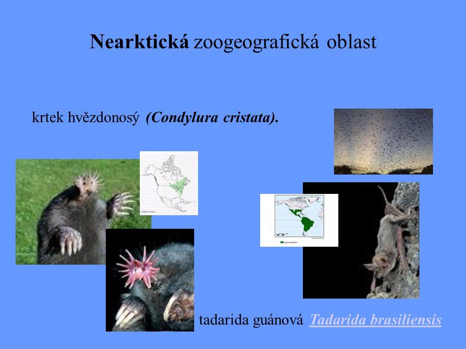ZAJÍCI (Lagomorfa) pišťucha pika Ochotona princeps Králík pouštní Sylvilagus adubonii Sylvilagus obscurus