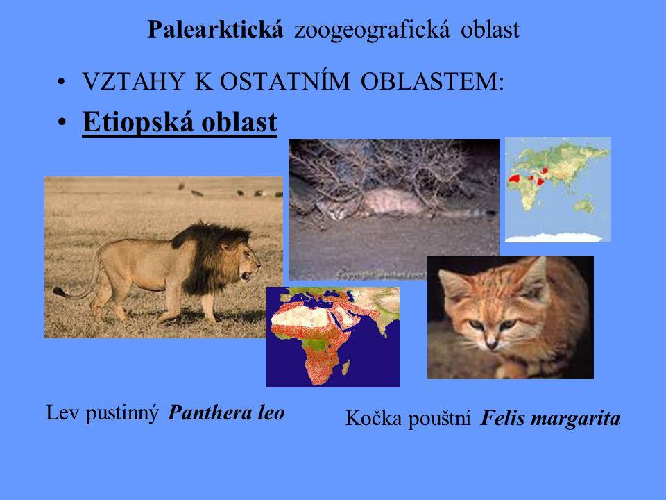 Palearktická zoogeografická oblast VZTAHY K OSTATNÍM OBLASTEM: Etiopská oblast Kočka pouštní Felis margarita Lev pustinný Panthera leo
