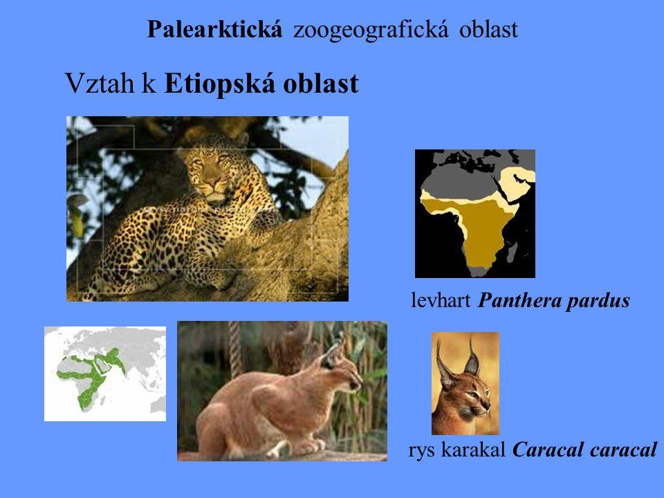 Palearktická zoogeografická oblast Vztah k Etiopská oblast levhart Panthera pardus rys karakal Caracal caracal
