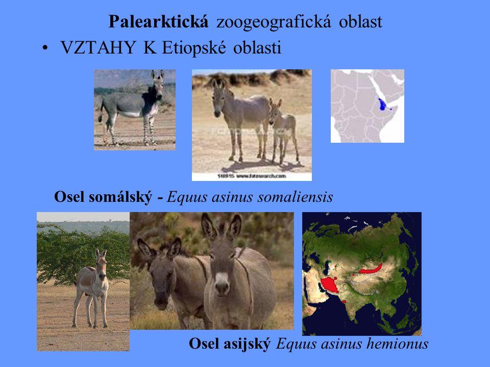 Palearktická zoogeografická oblast VZTAHY K Etiopské oblasti Osel somálský - Equus asinus somaliensis Osel asijský Equus asinus hemionus