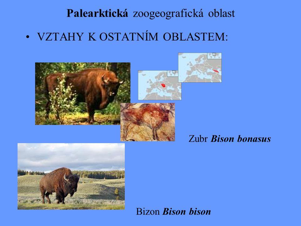 Palearktická zoogeografická oblast VZTAHY K OSTATNÍM OBLASTEM: Bizon Bison bison Zubr Bison bonasus