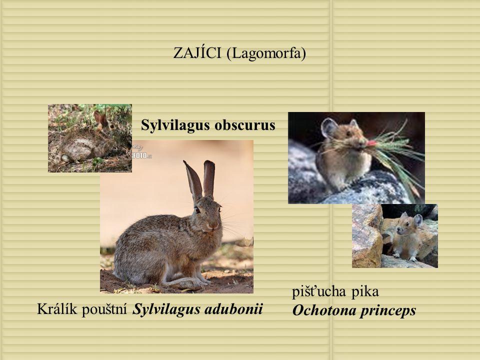 Palearktická zoogeografická oblast VZTAHY K OSTATNÍM OBLASTEM: Kozorožec kavkazský Capra caucasica Kozorožec horský Capra ibex