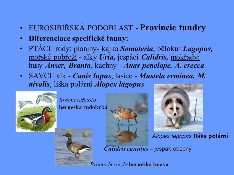 EUROSIBIŘSKÁ PODOBLAST - Provincie tundry Diferenciace specifické fauny: PTÁCI: rody: planiny- kajka Somateria, bělokur Lagopus, mořské pobřeží - alky