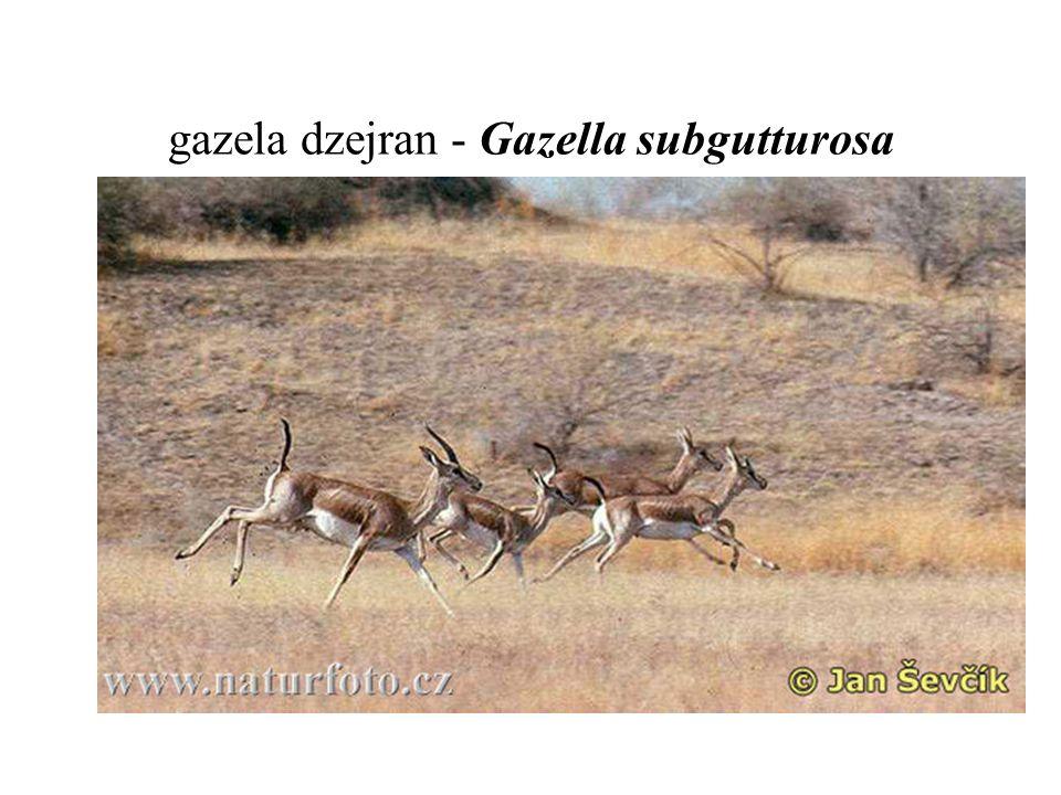 gazela dzejran - Gazella subgutturosa
