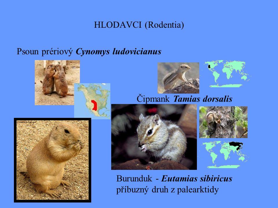 HLODAVCI (Rodentia) Psoun prériový Cynomys ludovicianus Burunduk - Eutamias sibiricus příbuzný druh z palearktidy Čipmank Tamias dorsalis