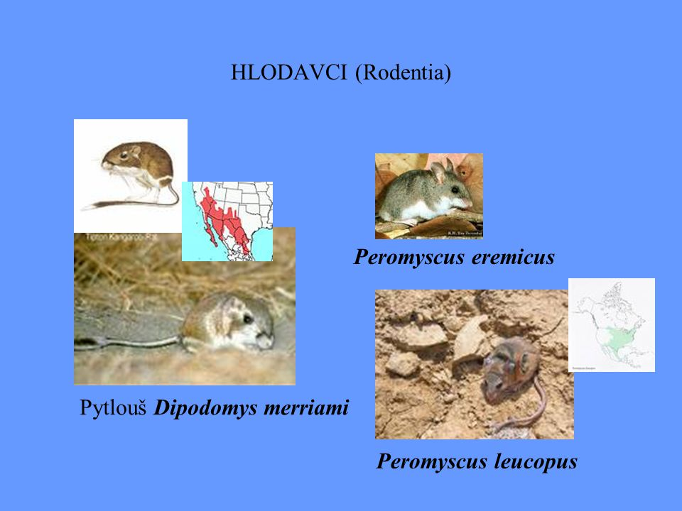 HLODAVCI (Rodentia) Pytlouš Dipodomys merriami Peromyscus leucopus Peromyscus eremicus
