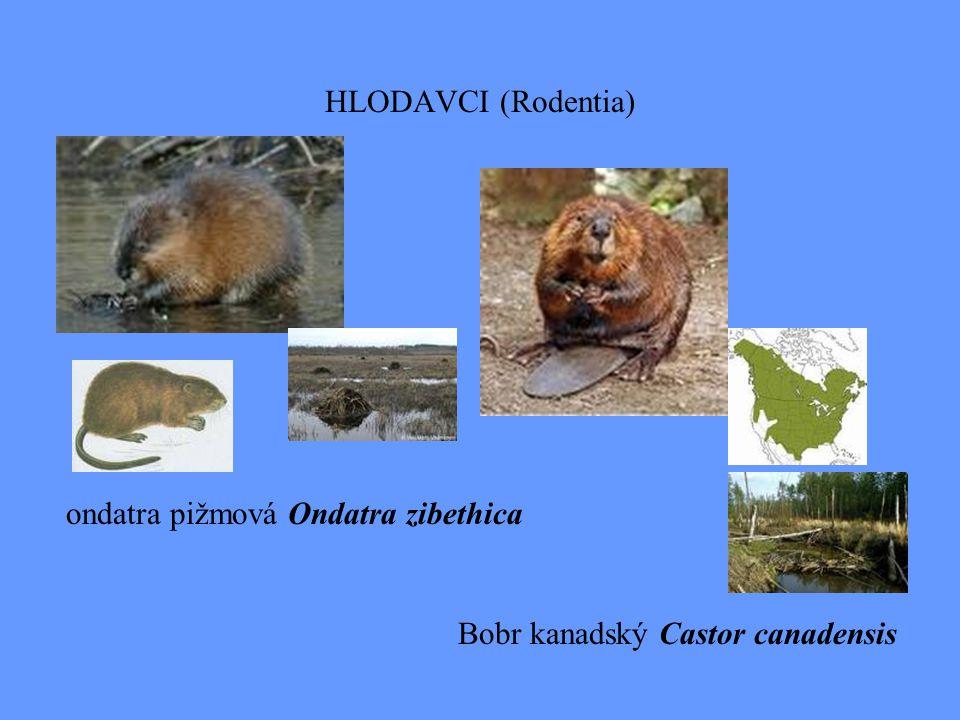 HLODAVCI (Rodentia) Bobr kanadský Castor canadensis ondatra pižmová Ondatra zibethica