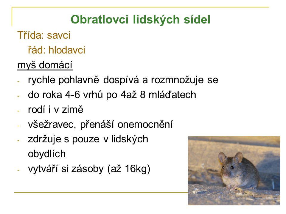 Obratlovci lidských sídel Třída: savci řád: hlodavci myš domácí - rychle pohlavně dospívá a rozmnožuje se - do roka 4-6 vrhů po 4až 8 mláďatech - rodí i v zimě - všežravec, přenáší onemocnění - zdržuje s pouze v lidských obydlích - vytváří si zásoby (až 16kg)