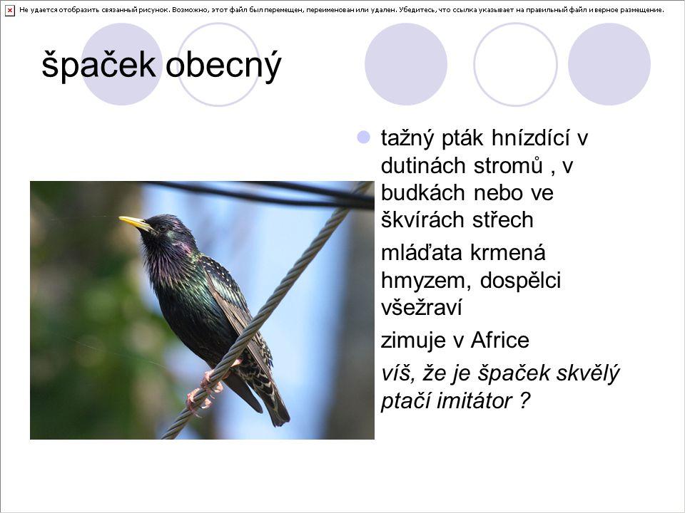 špaček obecný tažný pták hnízdící v dutinách stromů, v budkách nebo ve škvírách střech mláďata krmená hmyzem, dospělci všežraví zimuje v Africe víš, že je špaček skvělý ptačí imitátor ?