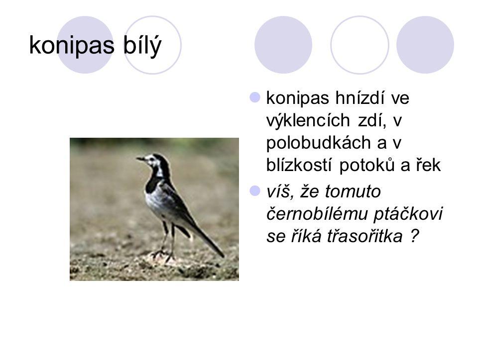 konipas bílý konipas hnízdí ve výklencích zdí, v polobudkách a v blízkostí potoků a řek víš, že tomuto černobílému ptáčkovi se říká třasořitka ?