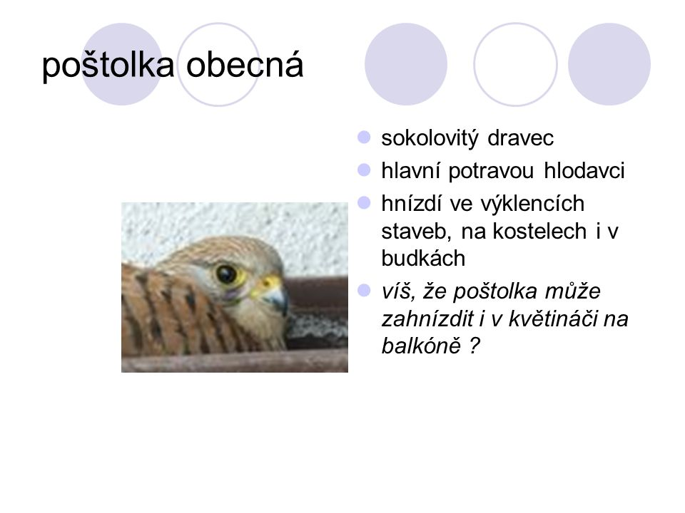 poštolka obecná sokolovitý dravec hlavní potravou hlodavci hnízdí ve výklencích staveb, na kostelech i v budkách víš, že poštolka může zahnízdit i v k