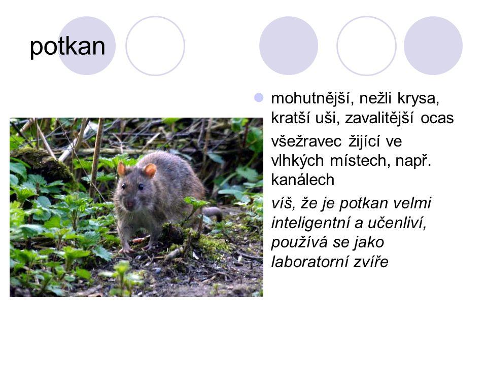 potkan mohutnější, nežli krysa, kratší uši, zavalitější ocas všežravec žijící ve vlhkých místech, např. kanálech víš, že je potkan velmi inteligentní