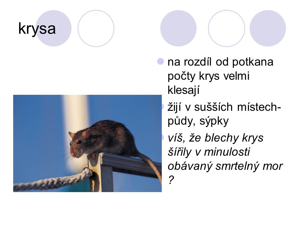 krysa na rozdíl od potkana počty krys velmi klesají žijí v sušších místech- půdy, sýpky víš, že blechy krys šířily v minulosti obávaný smrtelný mor ?