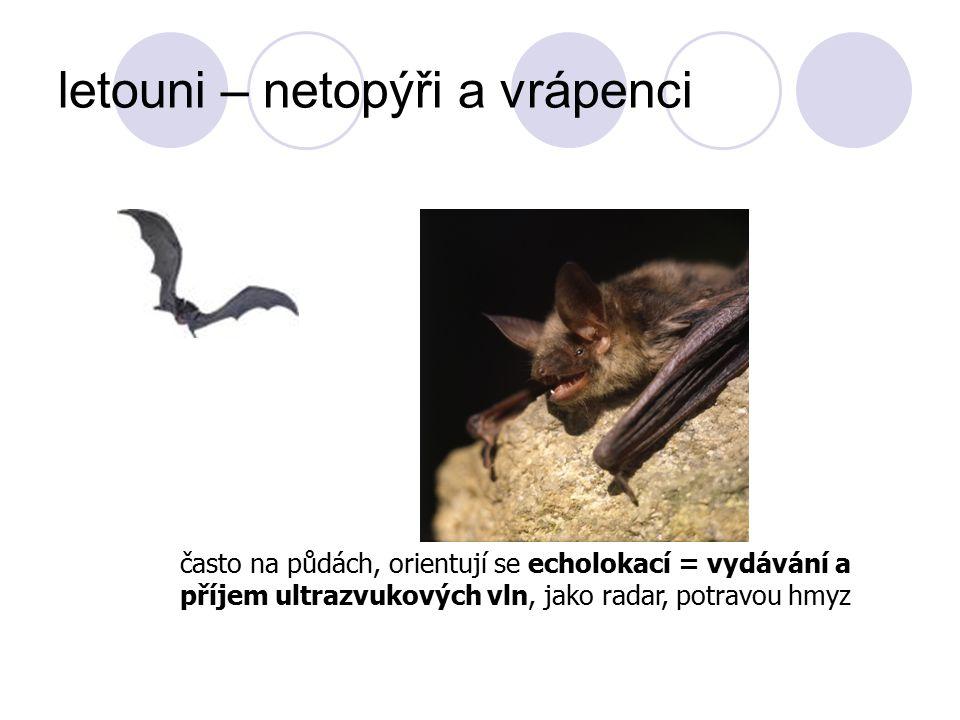 letouni – netopýři a vrápenci často na půdách, orientují se echolokací = vydávání a příjem ultrazvukových vln, jako radar, potravou hmyz