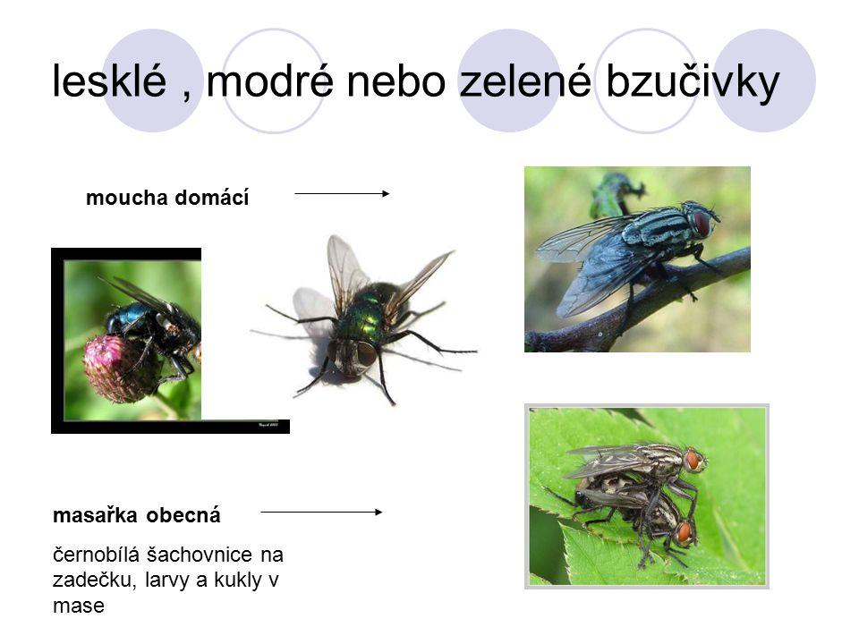 lesklé, modré nebo zelené bzučivky moucha domácí masařka obecná černobílá šachovnice na zadečku, larvy a kukly v mase