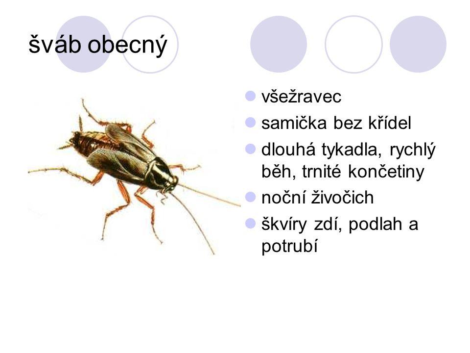 šváb obecný všežravec samička bez křídel dlouhá tykadla, rychlý běh, trnité končetiny noční živočich škvíry zdí, podlah a potrubí