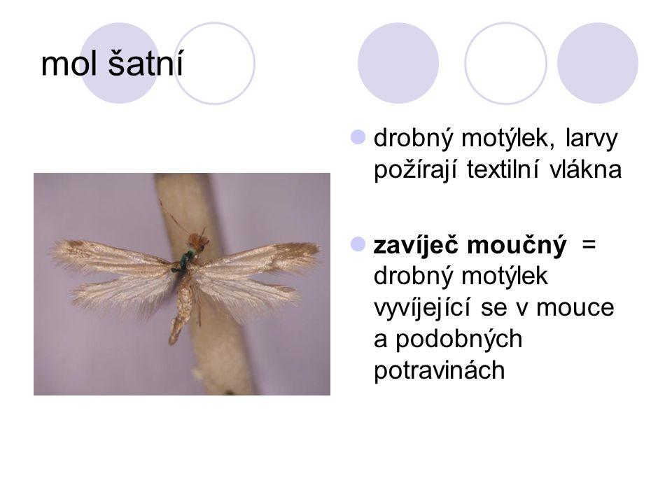 mol šatní drobný motýlek, larvy požírají textilní vlákna zavíječ moučný = drobný motýlek vyvíjející se v mouce a podobných potravinách