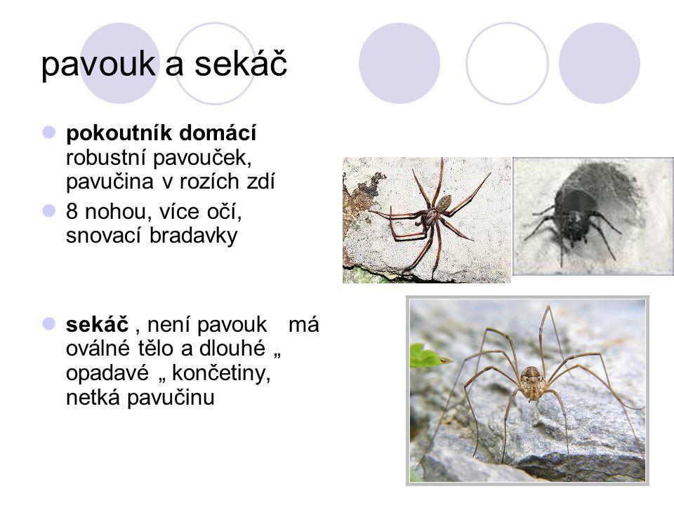 """pavouk a sekáč pokoutník domácí robustní pavouček, pavučina v rozích zdí 8 nohou, více očí, snovací bradavky sekáč, není pavouk má oválné tělo a dlouhé """" opadavé """" končetiny, netká pavučinu"""
