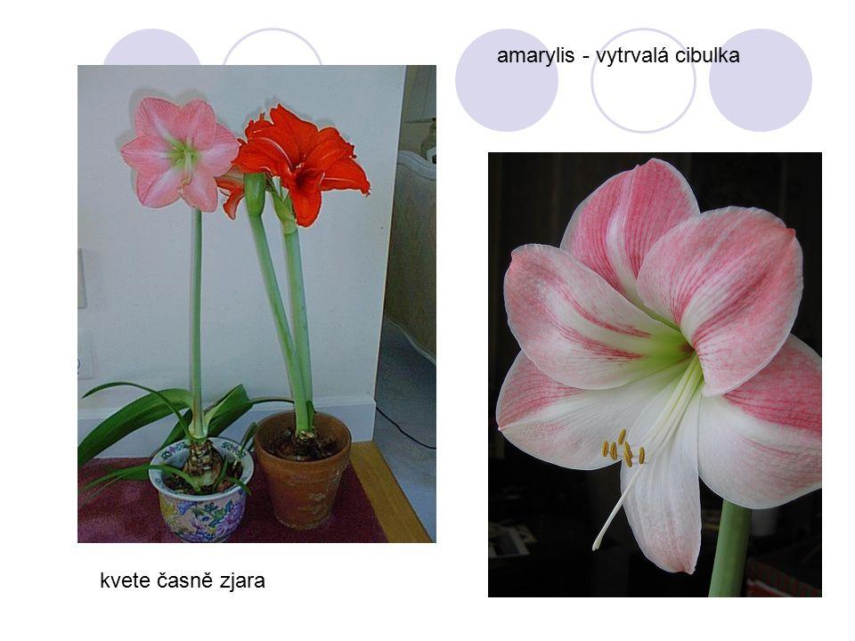 amarylis - vytrvalá cibulka kvete časně zjara