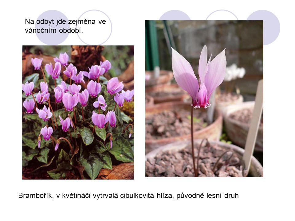 Brambořík, v květináči vytrvalá cibulkovitá hlíza, původně lesní druh Na odbyt jde zejména ve vánočním období.