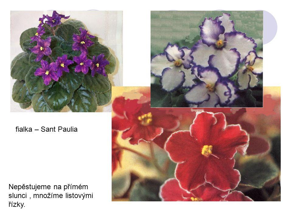 Nepěstujeme na přímém slunci, množíme listovými řízky. fialka – Sant Paulia