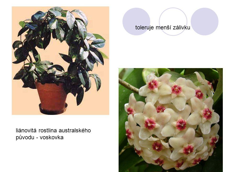 liánovitá rostlina australského původu - voskovka toleruje menší zálivku