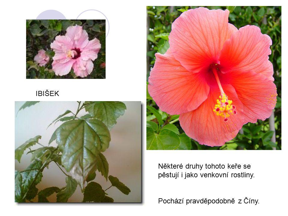 Některé druhy tohoto keře se pěstují i jako venkovní rostliny. Pochází pravděpodobně z Číny. IBIŠEK