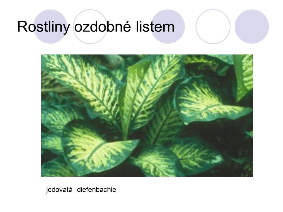 Rostliny ozdobné listem jedovatá diefenbachie