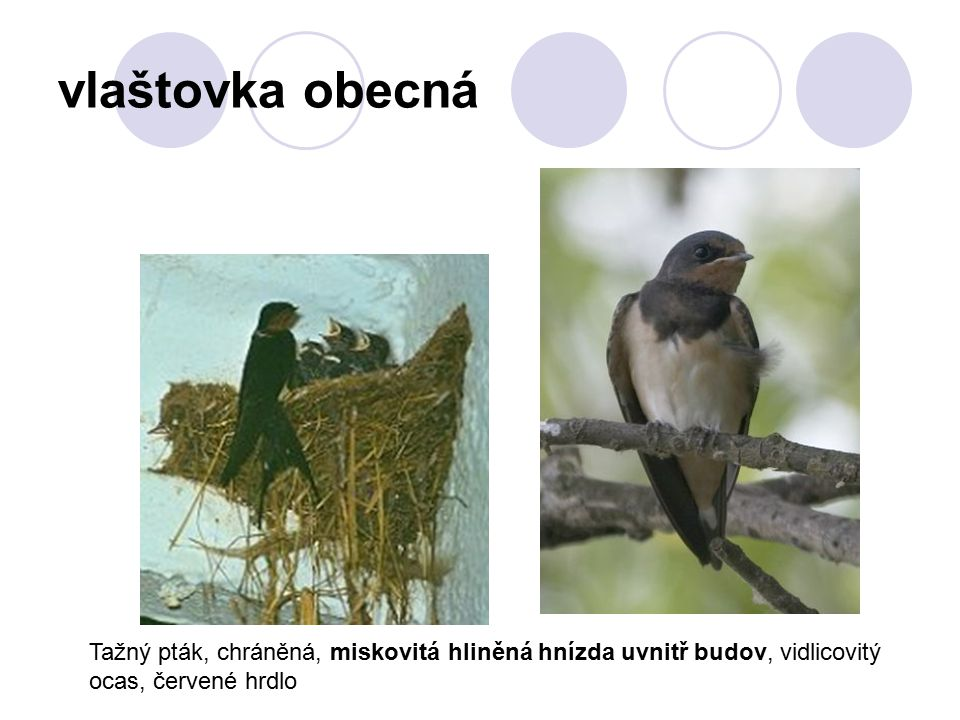 vlaštovka obecná Tažný pták, chráněná, miskovitá hliněná hnízda uvnitř budov, vidlicovitý ocas, červené hrdlo