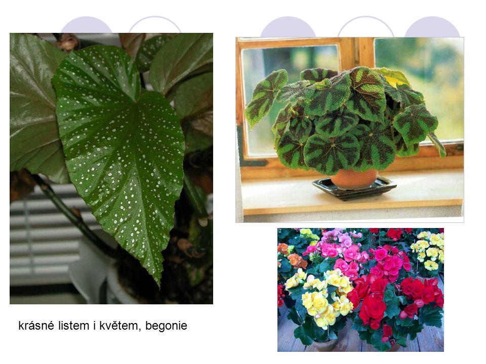 krásné listem i květem, begonie