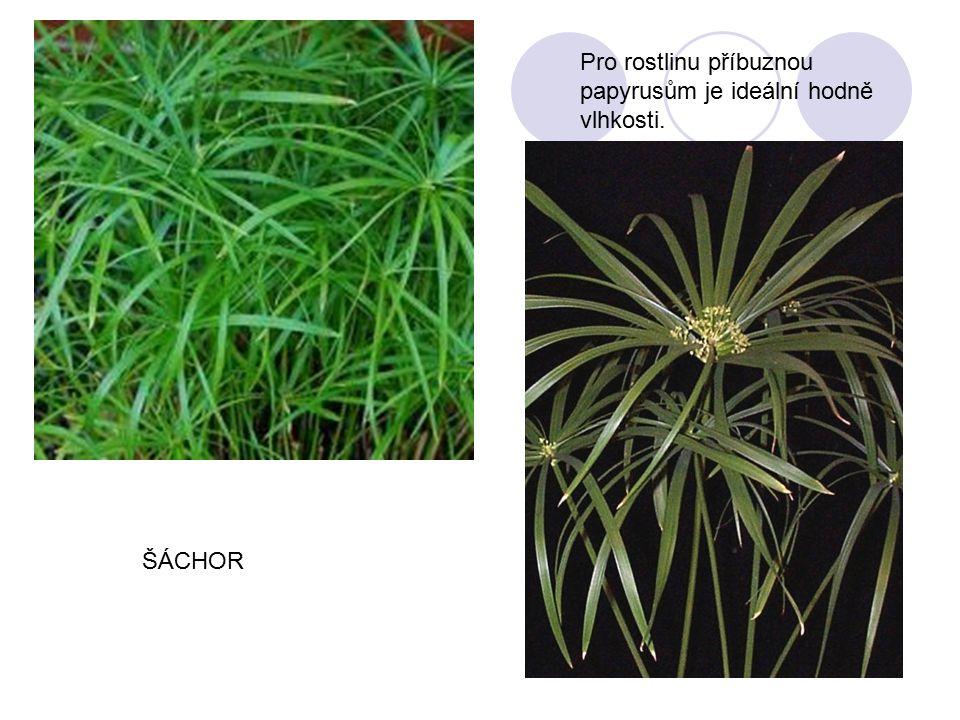 Pro rostlinu příbuznou papyrusům je ideální hodně vlhkosti. ŠÁCHOR