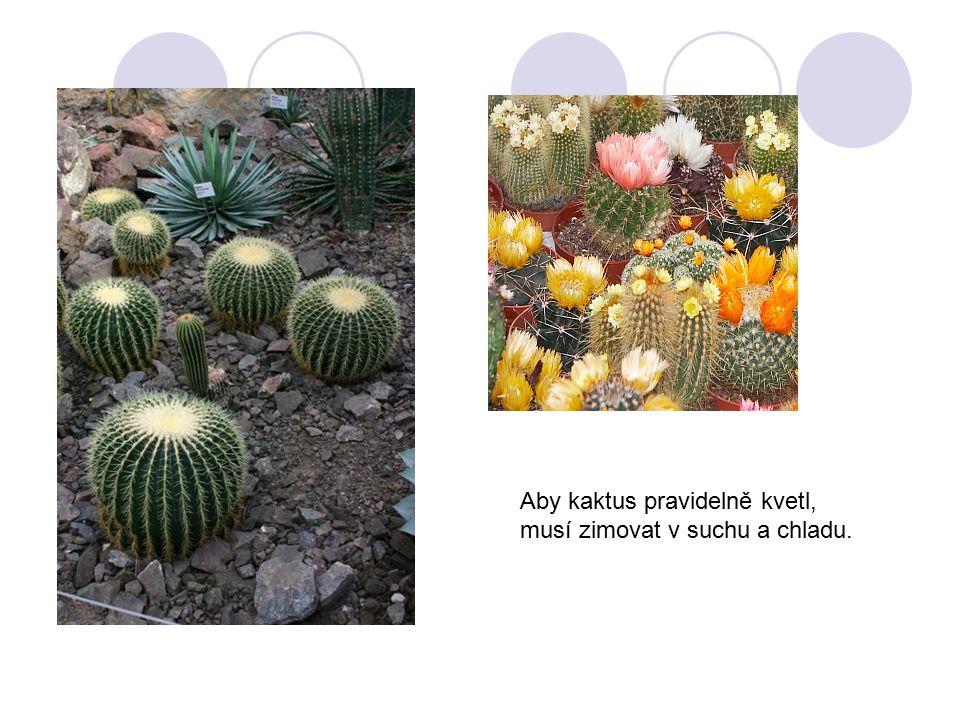 Aby kaktus pravidelně kvetl, musí zimovat v suchu a chladu.