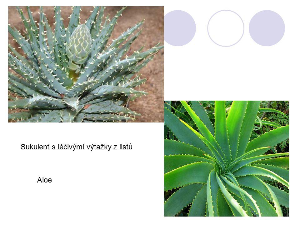 Sukulent s léčivými výtažky z listů Aloe