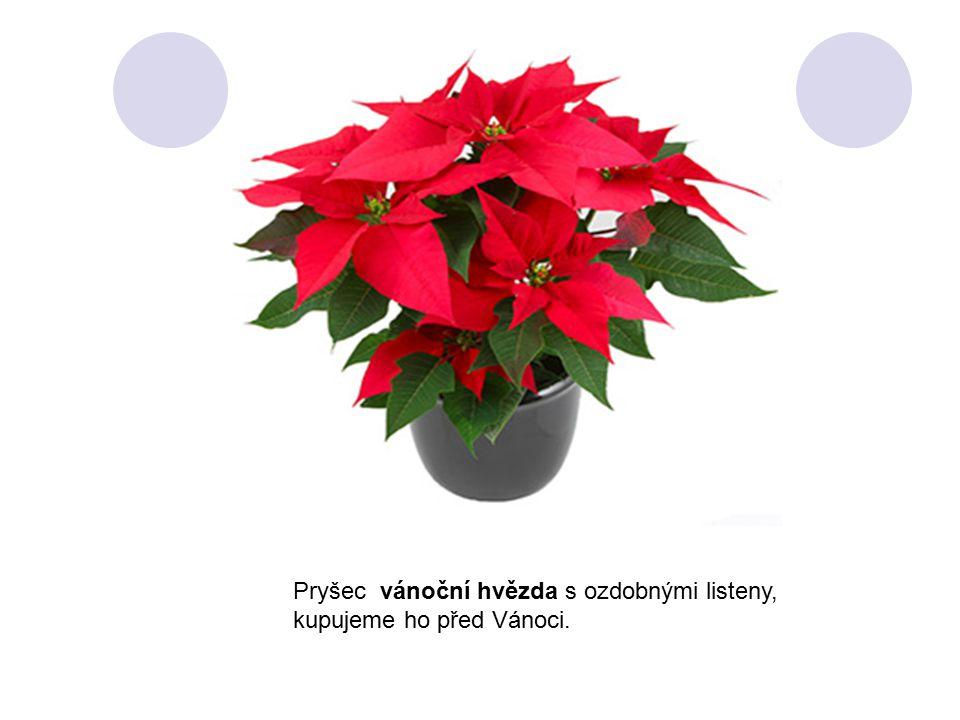 Pryšec vánoční hvězda s ozdobnými listeny, kupujeme ho před Vánoci.