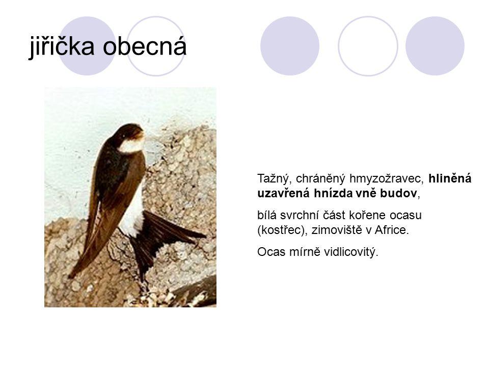 jiřička obecná Tažný, chráněný hmyzožravec, hliněná uzavřená hnízda vně budov, bílá svrchní část kořene ocasu (kostřec), zimoviště v Africe.
