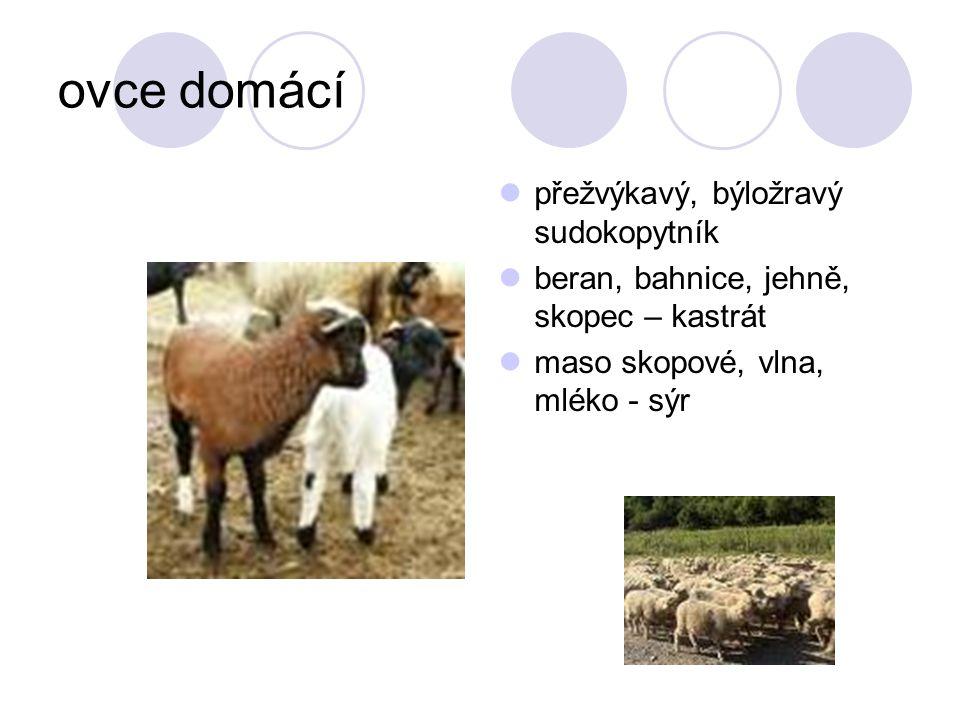 ovce domácí přežvýkavý, býložravý sudokopytník beran, bahnice, jehně, skopec – kastrát maso skopové, vlna, mléko - sýr