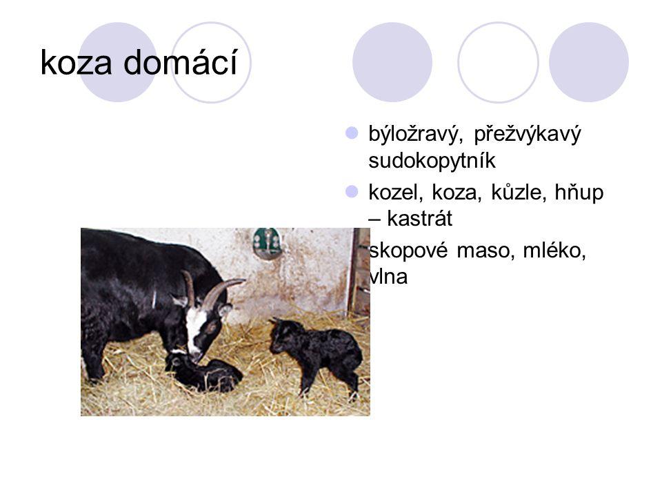 koza domácí býložravý, přežvýkavý sudokopytník kozel, koza, kůzle, hňup – kastrát skopové maso, mléko, vlna