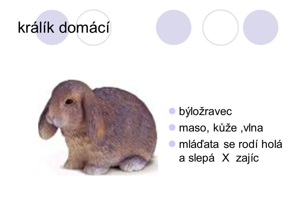 králík domácí býložravec maso, kůže,vlna mláďata se rodí holá a slepá X zajíc