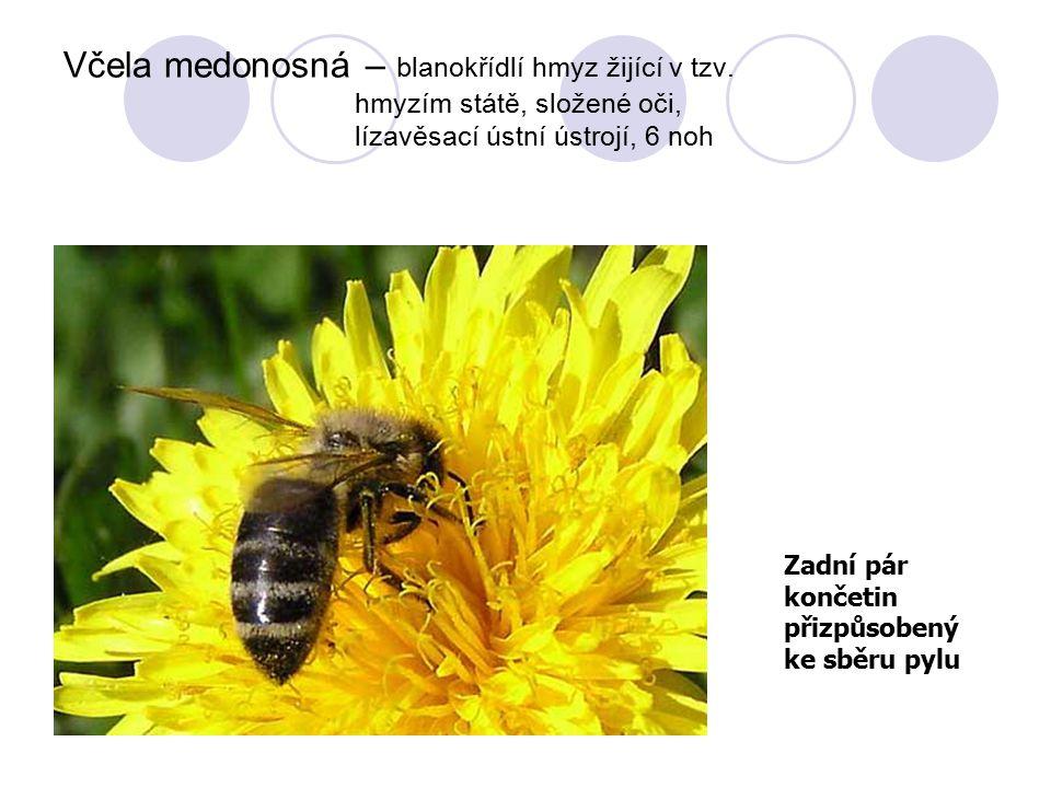 Včela medonosná – blanokřídlí hmyz žijící v tzv. hmyzím státě, složené oči, lízavěsací ústní ústrojí, 6 noh Zadní pár končetin přizpůsobený ke sběru p