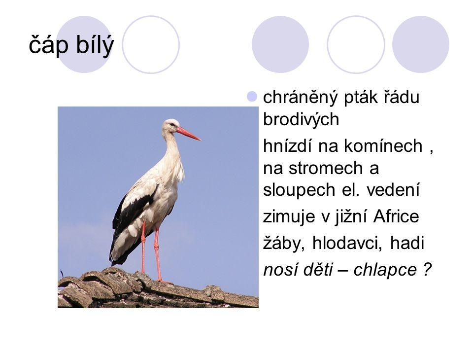 čáp bílý chráněný pták řádu brodivých hnízdí na komínech, na stromech a sloupech el. vedení zimuje v jižní Africe žáby, hlodavci, hadi nosí děti – chl