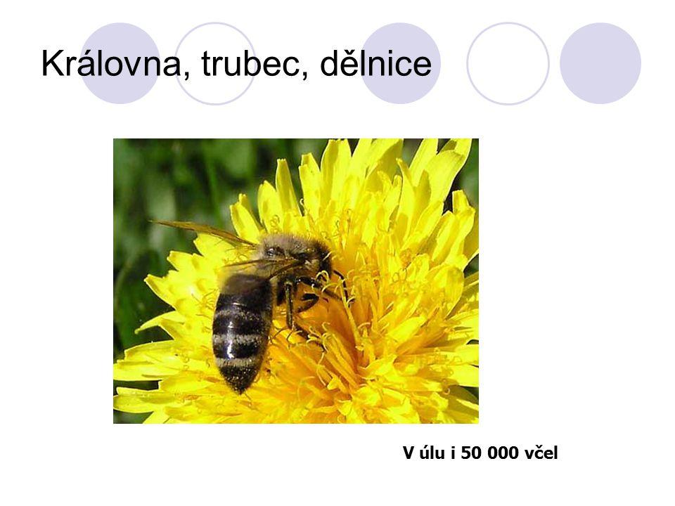 Královna, trubec, dělnice V úlu i 50 000 včel