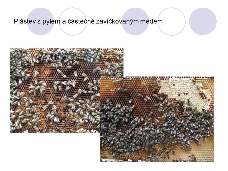 Plástev s pylem a částečně zavíčkovaným medem